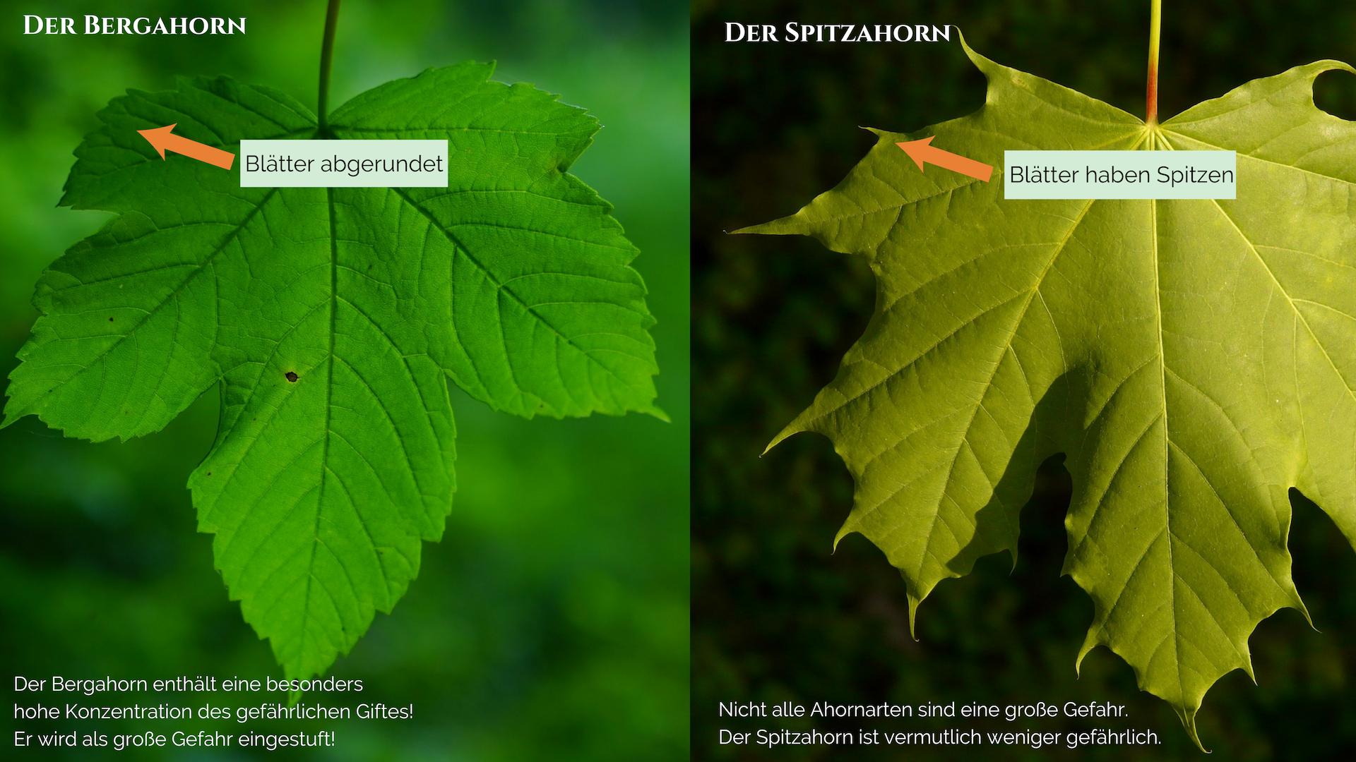 Gefahr Weidemyopathie! Was du über Toxine auf der Weide wissen musst! Bergahorn Spitzahorn